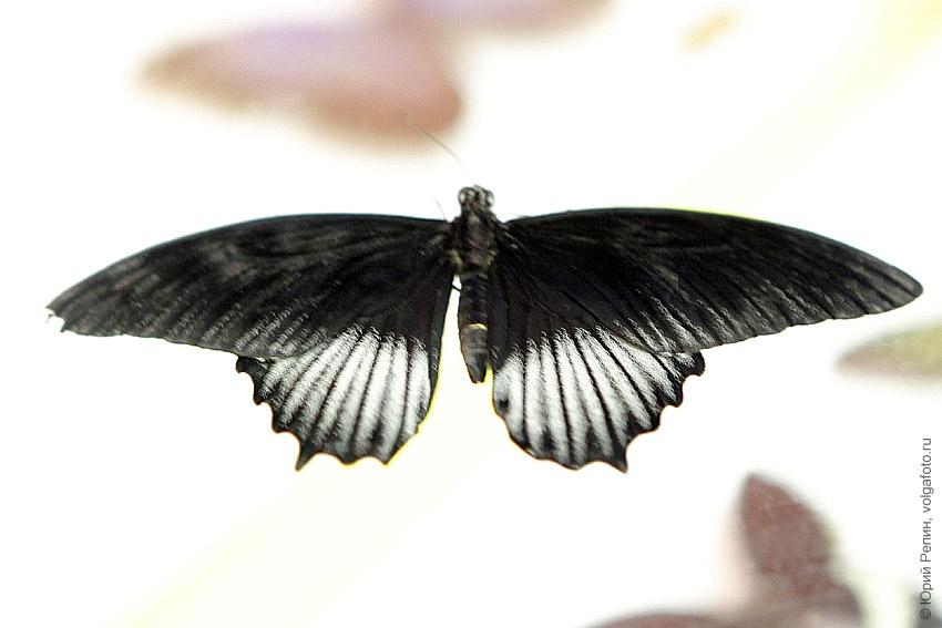 Бабочки в краеведческом музее города Энгельса