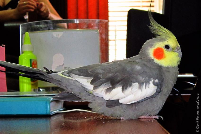 Кабинетный попугай